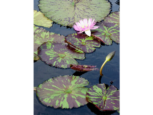 Water Lilies, Signed Original