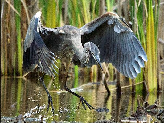 Blue Heron Splash Down - Canvas print