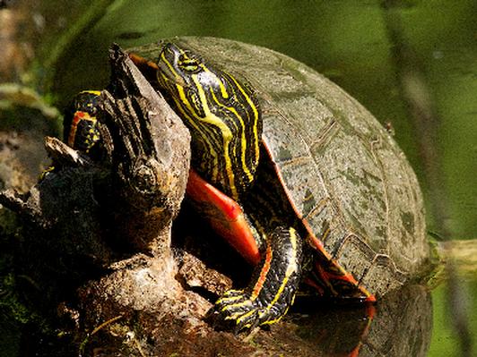 Sun-Soaked Turtle - Canvas print