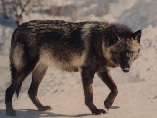 Luna - Ambassador Wolf - Matted print