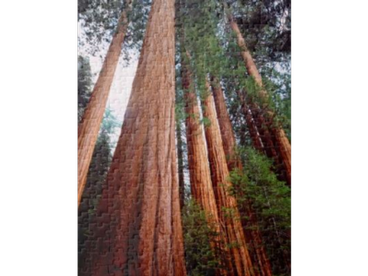 Old Growth Sequoia Trees Jigsaw Puzzle