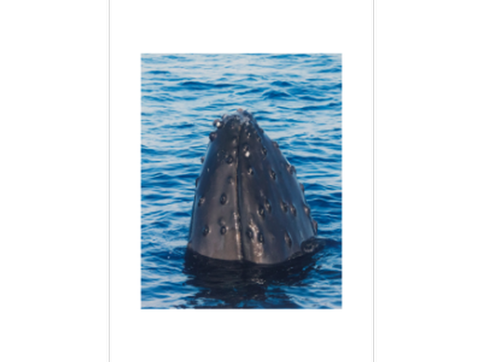 'Whale Spyhopping' Photography Print