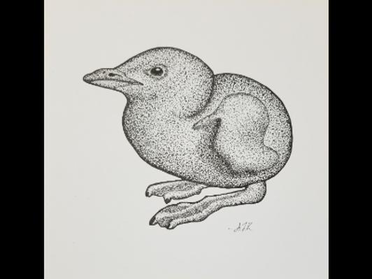 Murre Chick by Allison Kintner