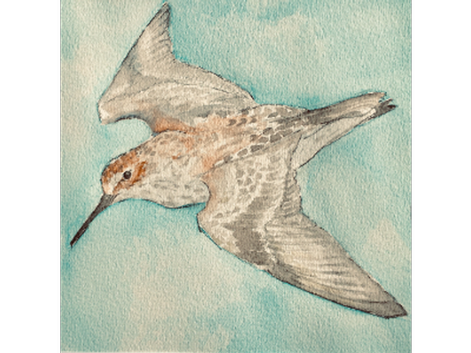 Western Sandpiper by Marybee Kaufman