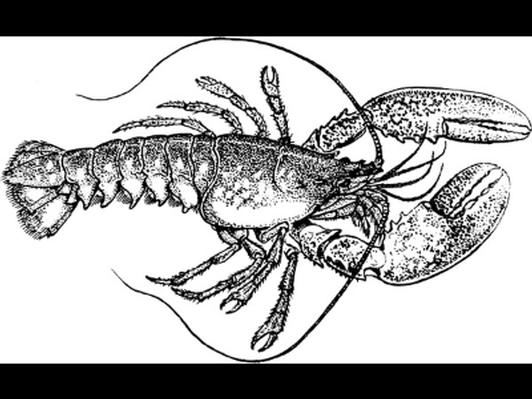 Fresh Lobster from Camden Lobster Company
