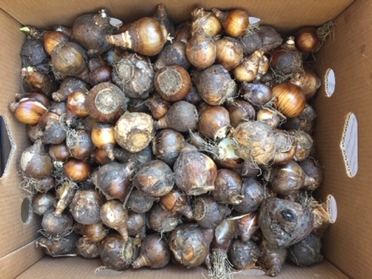Bulbs for Naturalizing