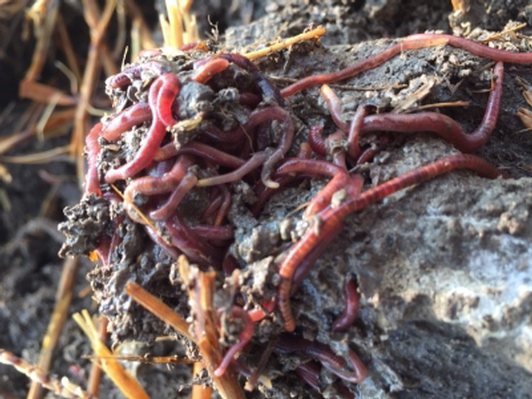 Vermicast from 2 Lazy 2 Worm Ranchers (2 of 2)