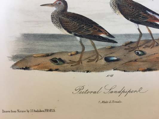 Four Exquisite Audubon Prints