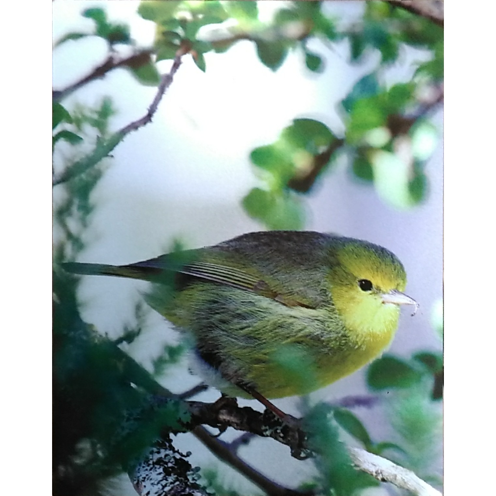 Alauahio -Maui:  Photographic Print, Subject: Hawaiian Bird