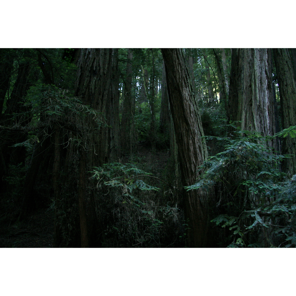 Muir Dark Woods (by Winifred Helton-Harmon)