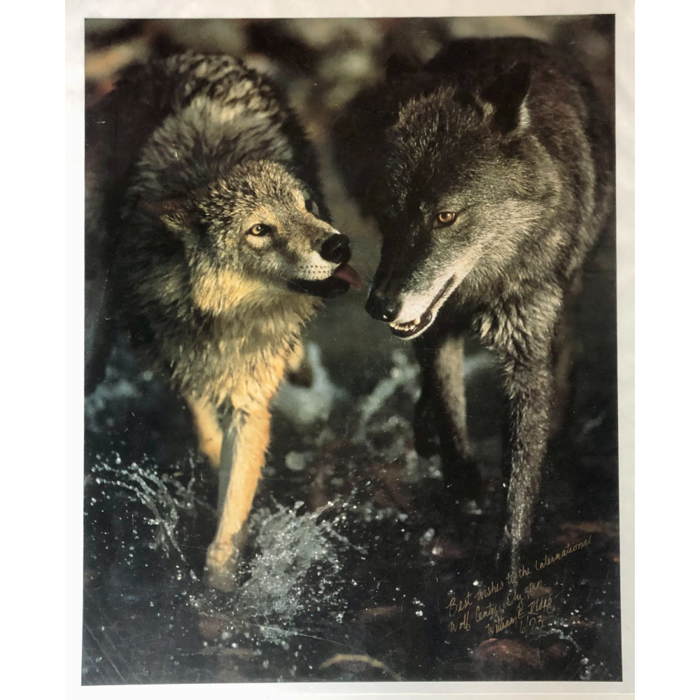 Print of Two Wolves (1)