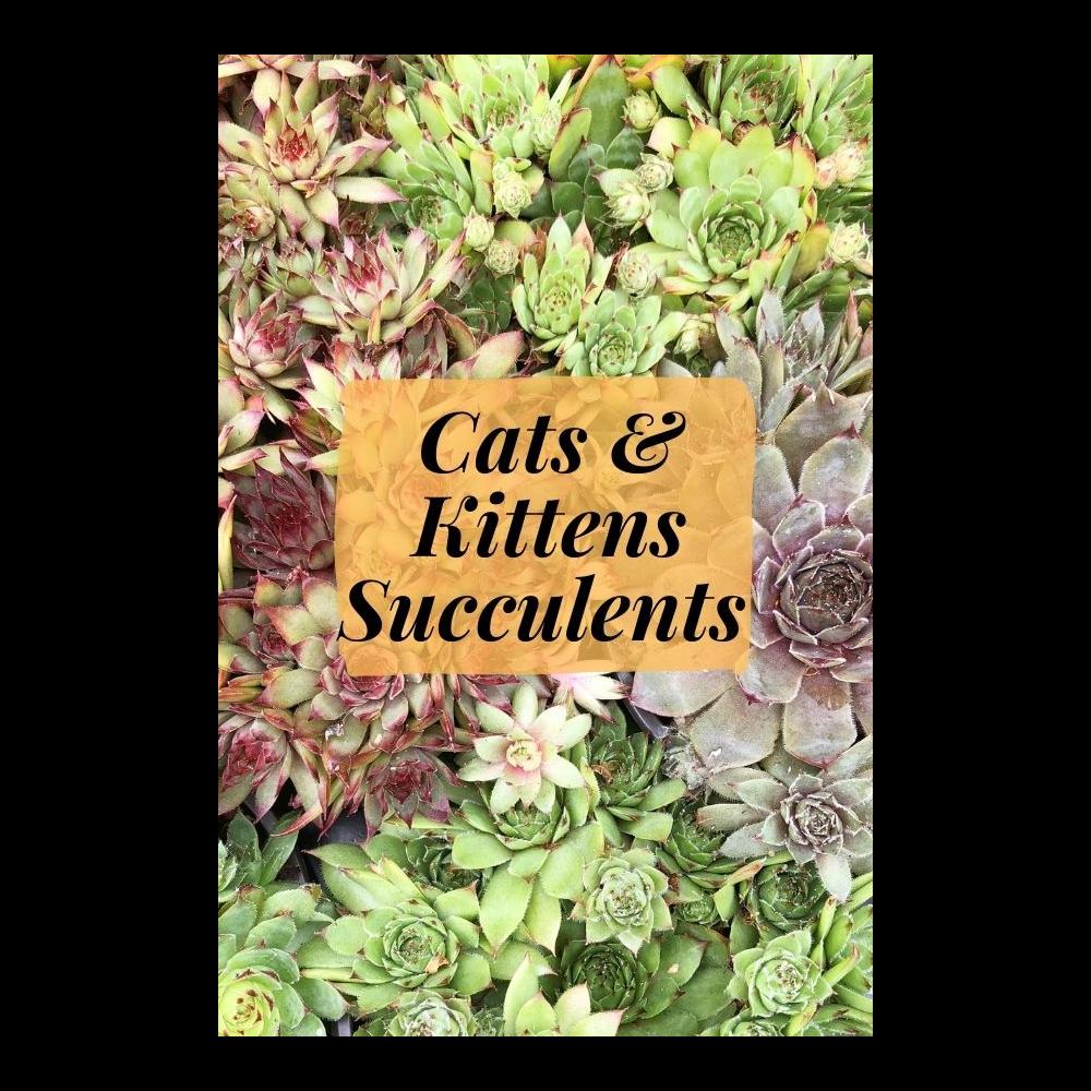 """Sempervivum Succulents """"Hens & Chicks"""""""