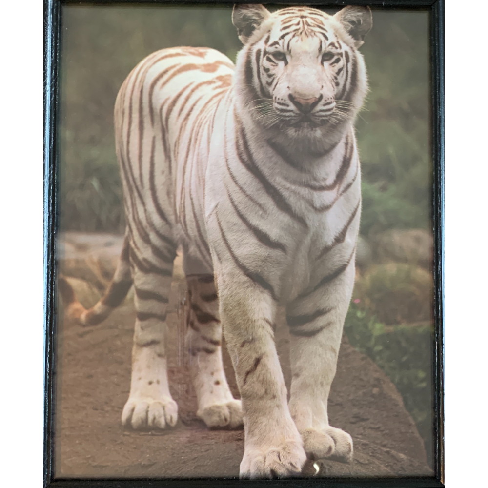 """(1996) 8"""" X 10"""" Vintage White Tiger with Wood Frame From Turpentine Creek Collection (Photographer Ron Kimball) 1988 Angel Gifts Inc."""