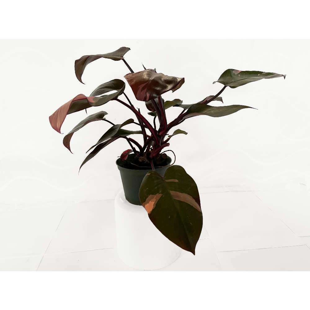 """6"""" Pink Princess Philodendron (Philodendron erubescens 'Pink Princess') - 1 of 3"""