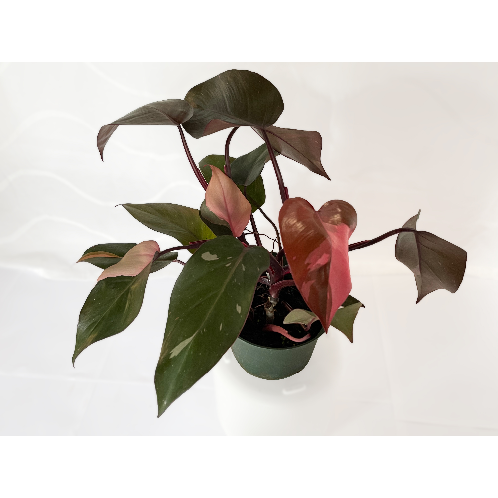 """6"""" Pink Princess Philodendron (Philodendron erubescens 'Pink Princess') - 2 of 3"""
