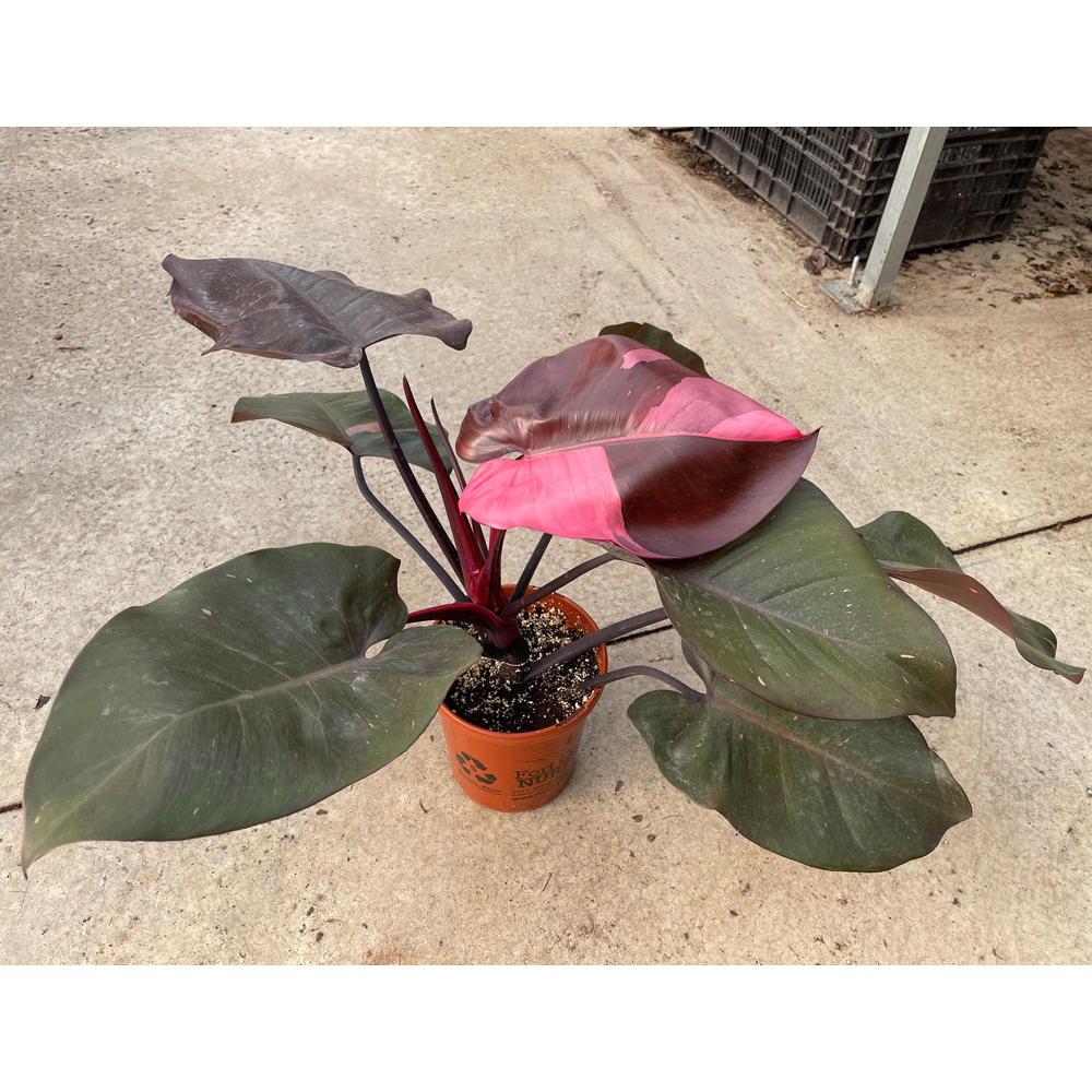 """6"""" Pink Princess Philodendron (Philodendron erubescens 'Pink Princess') - 3 of 3"""