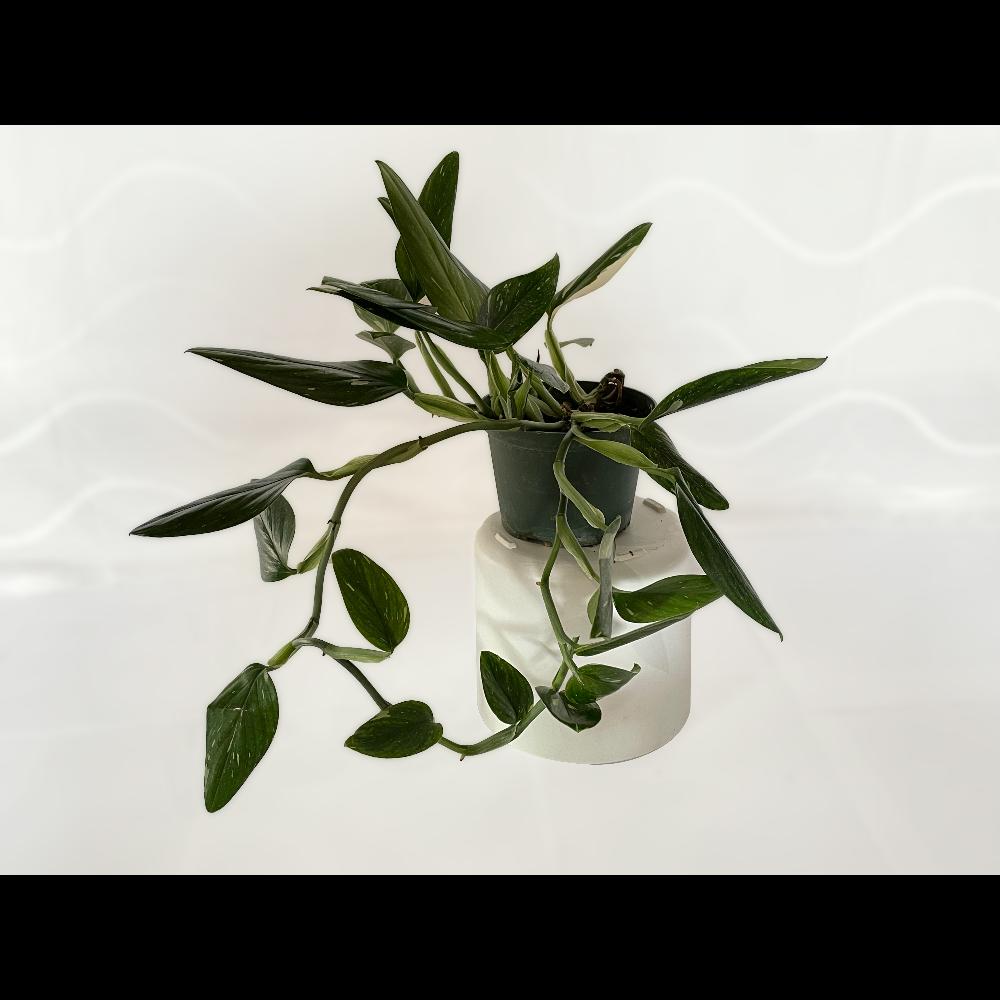 "6"" Philodendron Cobra (Monstera Standleyana) - 1 of 2"