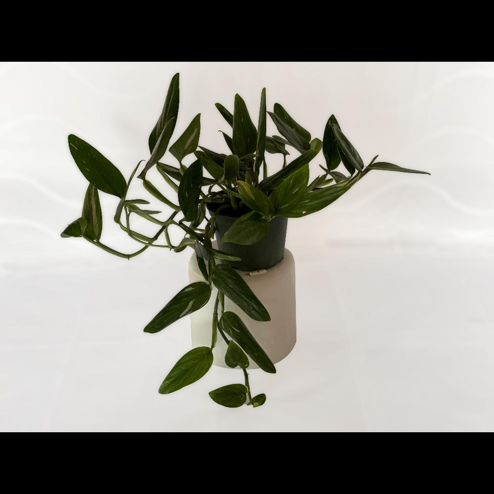 "6"" Philodendron Cobra (Monstera Standleyana) - 2 of 2"