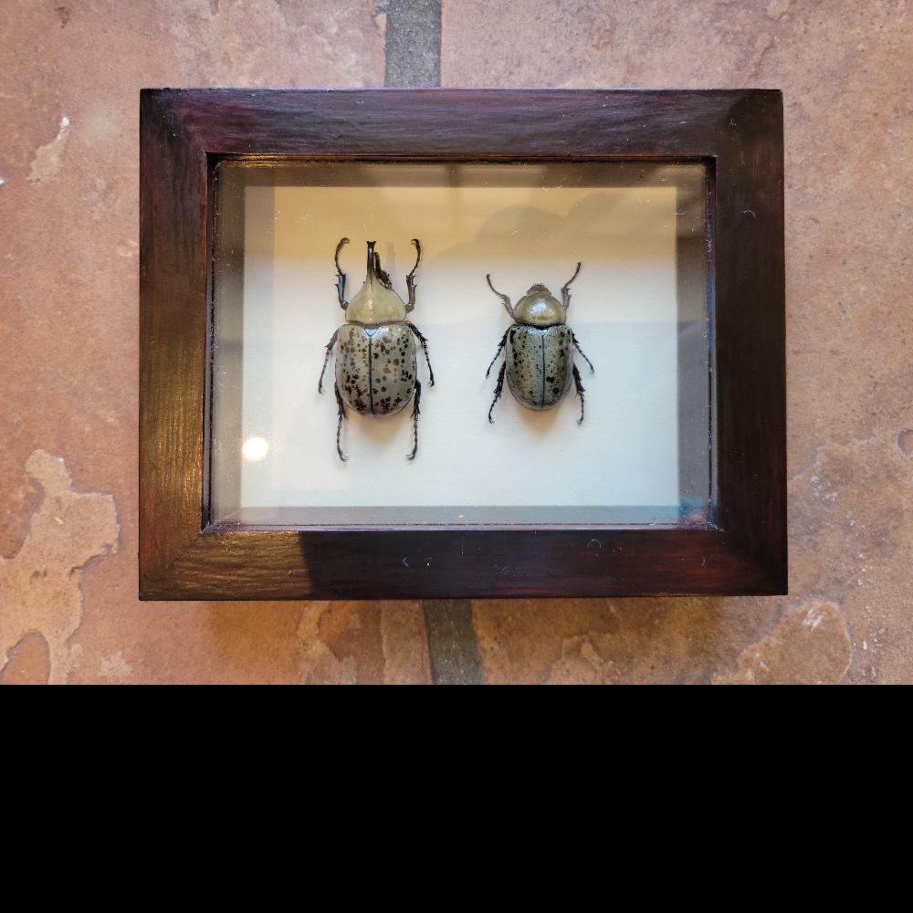 Framed mounted pair Dynastes granti