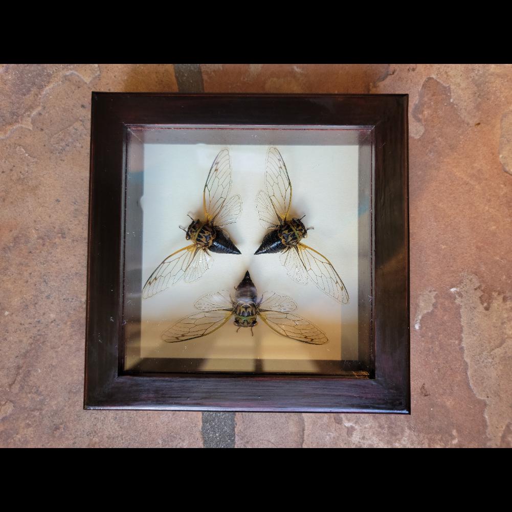 Framed mounted dog day cicada